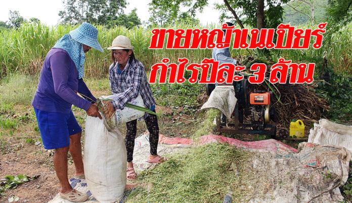 ปลูกหญ้าเนเปียร์ขายให้ผู้เลี้ยงโค ทำกำไรปีละ 3 ล้านบาท!!