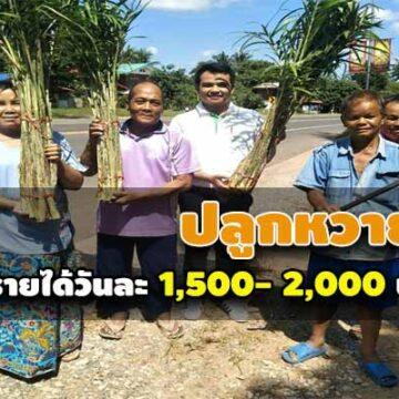 เกษตรกร อ.หนองพอก จ.ร้อยเอ็ด..ปลูกหวายป่า กว่า 100 ไร่ สร้างเงิน สร้างรายได้วันละ 1,500- 2,000 บาท / วัน
